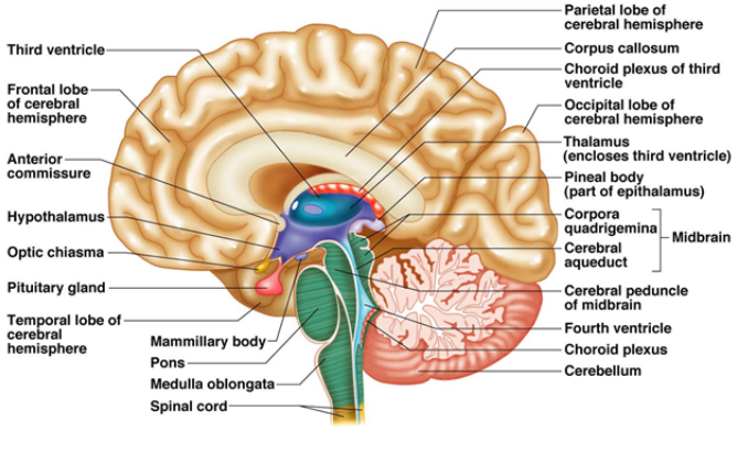 The Brain - Human Diseases: The Anatomy and Physiology